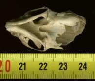 Comadreja/Mustela nivalis