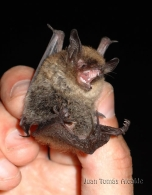 Murciélago ratonero bigotudo/Myotis mystacina