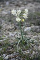 Narcissus dubius/Narcissus dubius