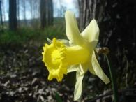 Narciso/Narcissus pallidiflorus