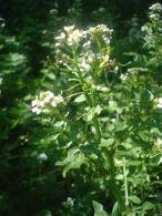 Berro de agua/Rorippa nasturtium-aquaticum