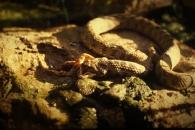 Culebra viperina/Natrix maura