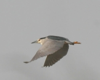 Martinete Com�n/Nycticorax nycticorax