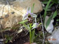 Ophrys scolopax/Ophrys scolopax