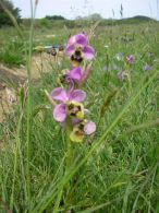 Ophrys tenthredinifera/Ophrys tenthredinifera