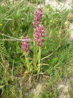 Orchis coriophora/Orchis coriophora