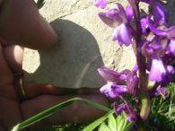Orchis morio/Orchis morio