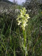 Orchis provincialis/Orchis provincialis