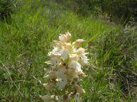 Orquidea dama/Orchis purpurea