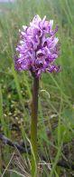 Orchis simia/Orchis simia