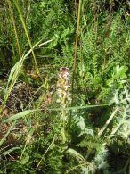 Orchis ustulata/Orchis ustulata