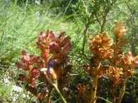 Orobanche gracilis/Orobanche gracilis