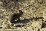 Conejo/Oryctolagus cuniculus