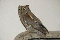 Autillo Europeo/Otus scops