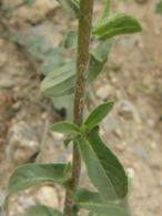 Estrellada espinosa/Pallenis spinosa