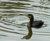Cormorán Grande/Phalacrocorax carbo