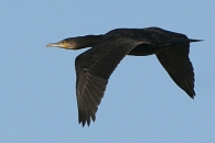 Cormor�n Grande/Phalacrocorax carbo