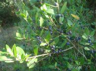 Labiernago/Phillyrea latifolia