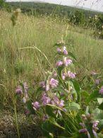 Phlomis herba-venti/Phlomis herba-venti