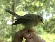 Mosquitero Ib�rico/Phylloscopus ibericus