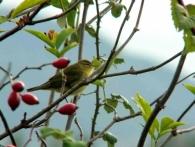 Mosquitero Musical/Phylloscopus trochilus