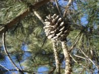 Pino laricio/Pinus nigra