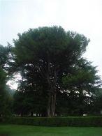 Pino piñonero/Pinus pinea
