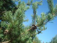 Pino albar, pino royo/Pinus sylvestris