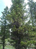Pino negro/Pinus uncinata