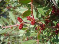 Lentisco/Pistacia lentiscus