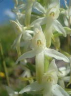 Platanthera bifolia/Platanthera bifolia