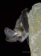 Orejudo gris/Plecotus austriacus