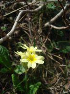 Manguitos/Primula elatior