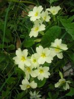 Primula vulgaris/Primula acaulis