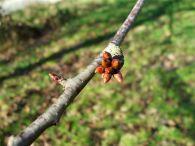 Cerezo/Prunus avium