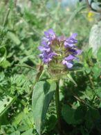 Consuelda menor/Prunella vulgaris