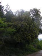 Carrasca/Quercus ilex