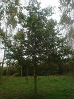 Roble americano/Quercus robur