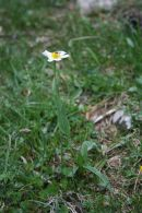 Ranunculus amplexicaulis/Ranunculus amplexicaulis