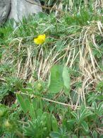Ranunculus thora/Ranunculus thora