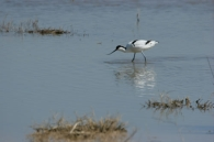 Avoceta Común/Recurvirostra avosetta