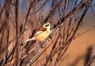 Pájaro Moscón/Remiz pendulinus