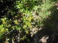 Aladierno/Rhamnus alaternus