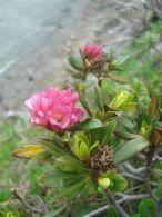 Rododendro/Rhododendron ferrugineum