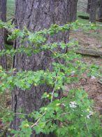 Grosellero/Ribes alpinum