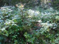Frambueso/Rubus idaeus
