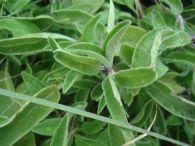 Salvia lavandulifolia/Salvia lavandulifolia