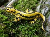 Salamandra común, Salamandra salamandra subsp. fastuosa