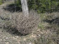 Sisallo/Salsola vermiculata