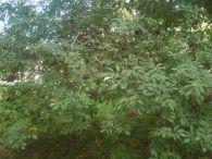 Sauco/Sambucus nigra